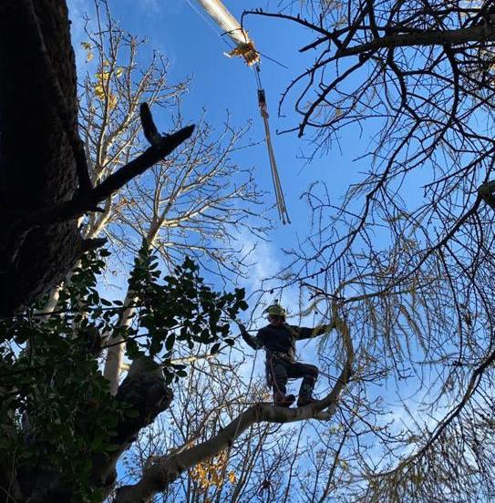 Chestnut tree felling in Edinburgh being carried out by professional tree surgeons.