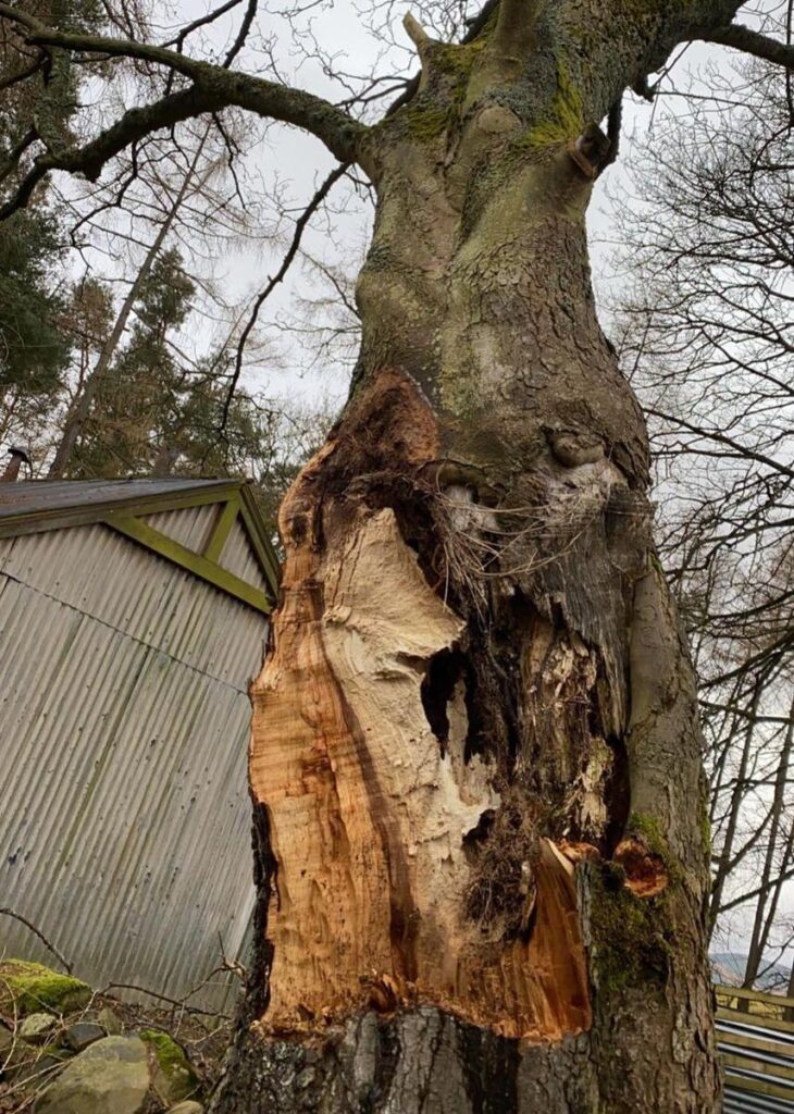 decayed sycamore tree removal in Peebles.